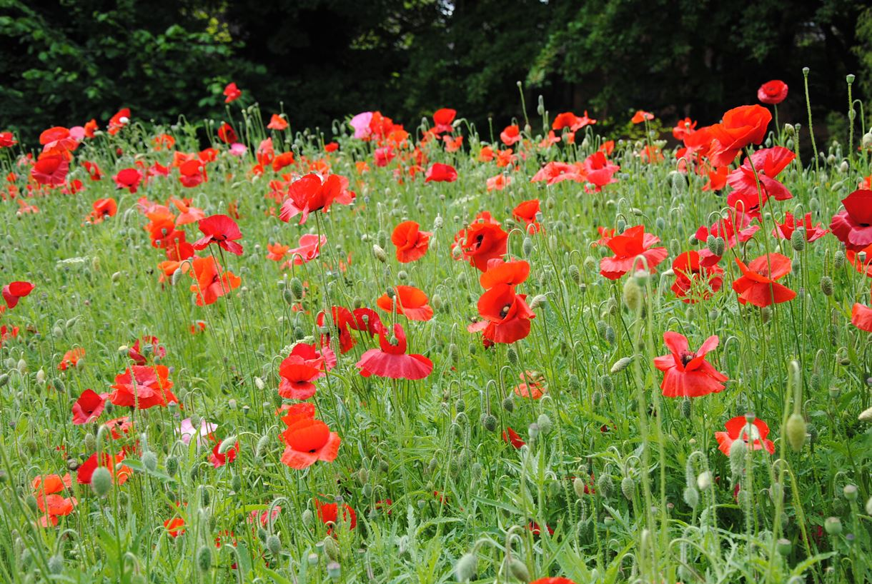 Andover Poppies